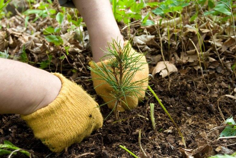 посадка новых деревьев